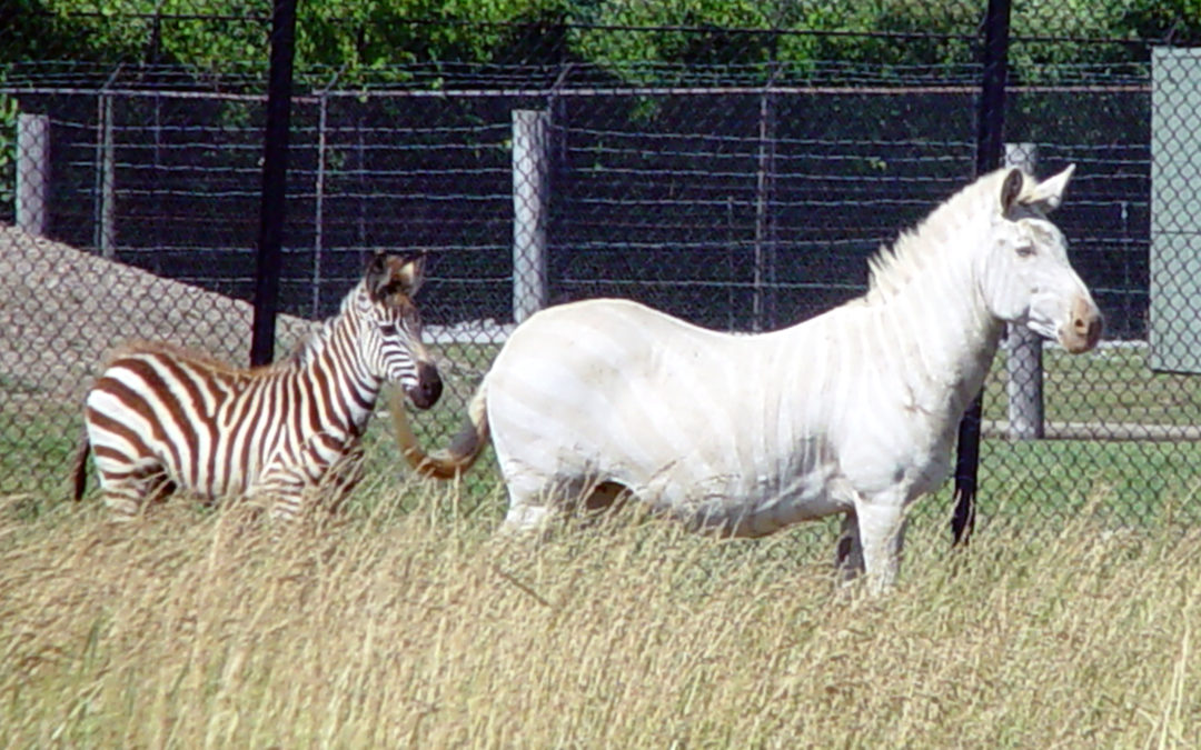 Horses or Zebras and Organization Strategy?